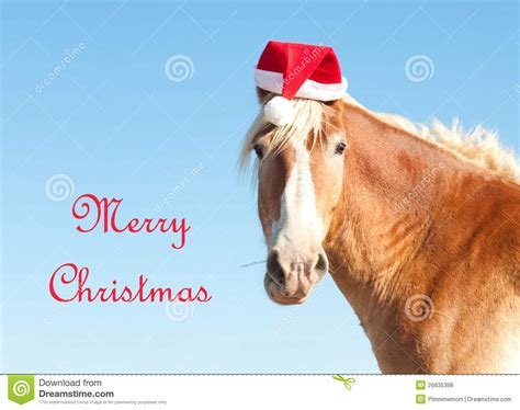belgian draft horse wishing merry christmas stock photo image  sorrel light