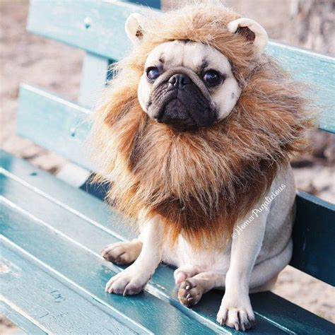 pugs lions this pug has the most adorable costumes lions costumes and pug
