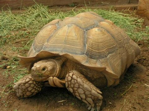 sulcata tortoise facts  pictures reptile fact
