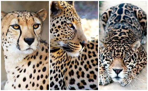 what s the difference between a jaguar and difference jaguar vs leopard