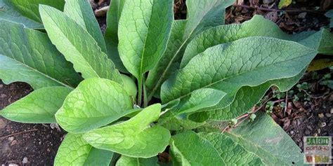 Charmant Plantes Aromatiques Cuisine #4: Purin-de-consoude-fabrication.jpg