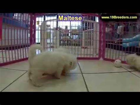 puppies for sale melbourne fl cavalier king charles spaniel puppies for sale in orlando florida fl deltona