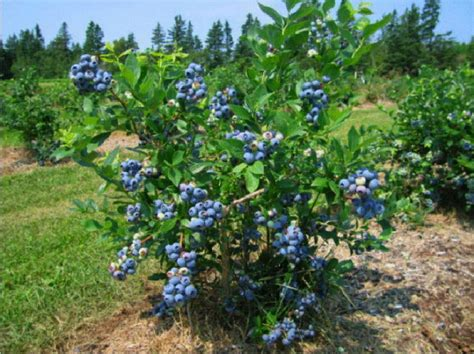 Backyard Berry Plants by Bor 243 Wka Ameryka蜆ska Wysoka Www Ogrodowo Eu