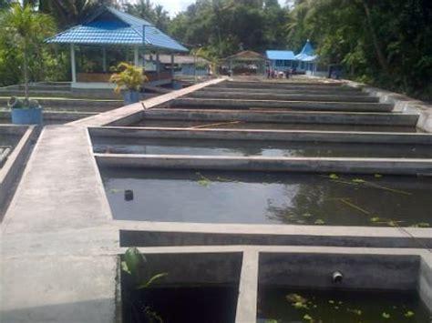 Jual Benih Lele Sangkuriang Yogyakarta bibit lele sangkuriang masamo dan phyton murah
