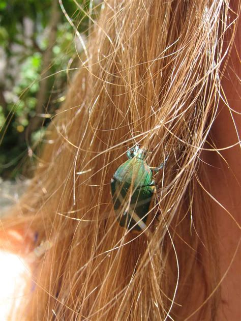 can bed bugs be in your hair what does it mean when a beetle lands in your hair soul
