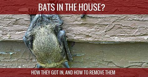 how to get bats out of your house how to get bats out of your house 28 images bats in the belfry how to get them out
