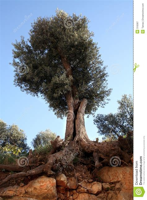 olive tree  roots royalty  stock photography