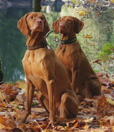 vizsla bible and the vizsla your vizsla guide covers vizsla vizsla puppies vizsla dogs vizsla vizsla health vizsla breeders vizsla size vizsla mixes more books vizsla buyers guide vizsla canada