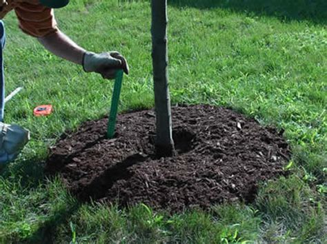 compost for fruit trees summer tree care mulching casey trees restore