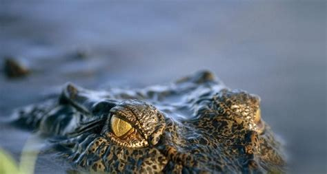 submerged saltwater crocodile kakadu national park northern territory australia
