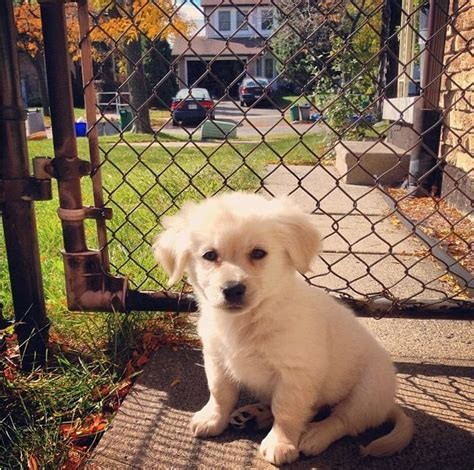 golden retriever pomeranian mix golden retriever pomeranian mix that looks like my baby animals