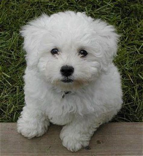 white poodle puppies 17 best ideas about poodle puppies on poodles standard poodles
