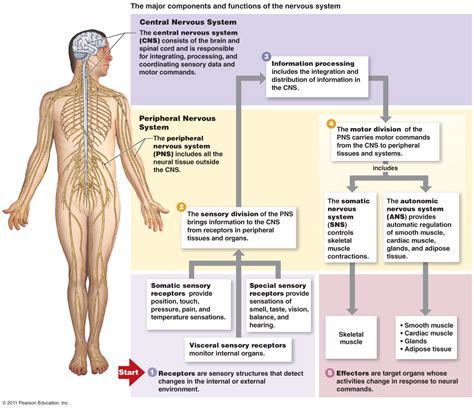 central nervous system diagram the nervous system organization and tissue