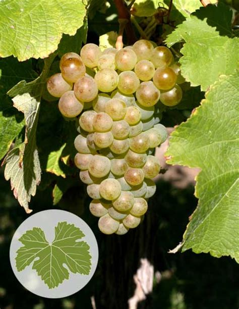 sauvignon blanc grapes viticulture te ara encyclopedia