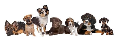 puppy and socialization what is puppy socialization and how do we get it right
