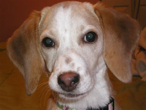 begal puppy beagle puppy free stock photo domain pictures