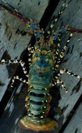 Lobster Air Tawar Malang jual lobster di malang usaha prospektif