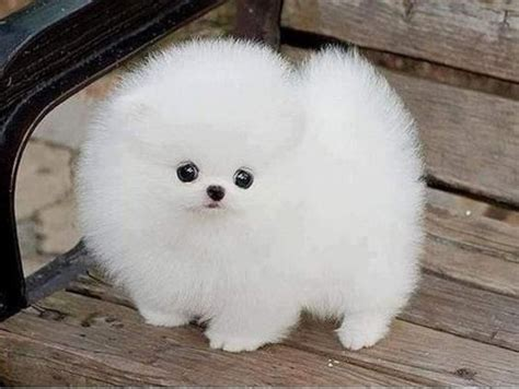 how big are teacup pomeranians teacup husky pomeranian pomeranian husky teacup grown mozambique charming and