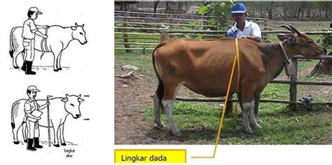 Timbangan Sapi Hidup cara menghitung bobot badan sapi