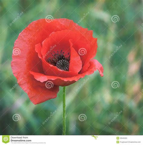 poppy macro stock  image