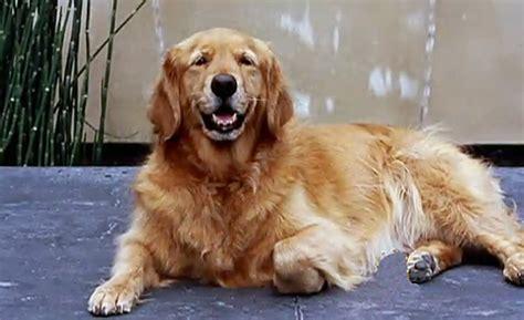 dean koontz golden retrievers dean koontz on with dogs