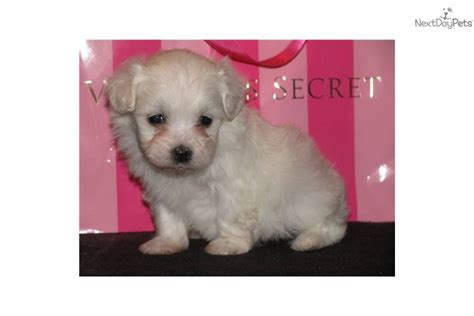 havanese poodle for sale meet jilly a havanese puppy for sale for 500