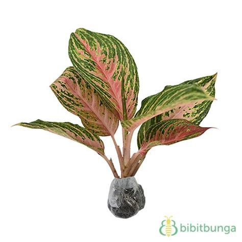 Tanaman Aglaonema Heng Heng Aglonema Hengheng tanaman aglaonema pink bibitbunga