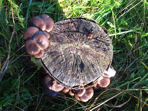 Pilze Im Eigenen Garten by Speisepilze Im Garten Pilze Selbst Z Chten Pilz Plantage