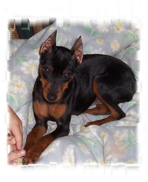 miniature pinscher puppies for sale m b s tyson