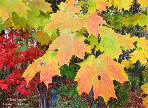 maple tree eat 15 trees for a wildlife friendly edible landsape