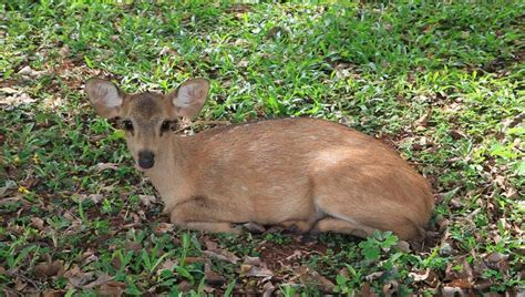 deer laying down in a zoo stock footage video 7421359