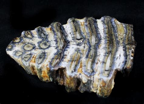 fishing for fossils in the north sea the lost world of doggerland polished mammoth molar section north sea deposits for