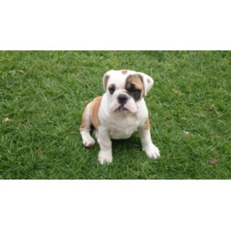 free puppies riverside sandov s bulldog bulldog breeder in riverside california