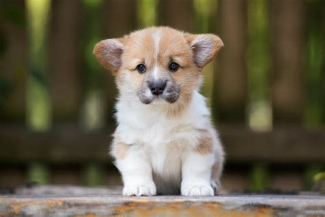 puppy culture breeders 7 facts about the pembroke corgi american kennel club