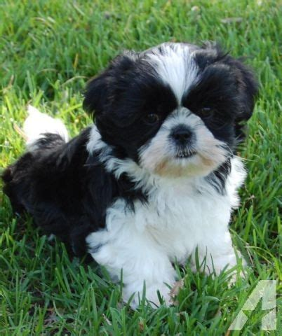 black and white shih tzu puppies for sale beautiful shih tzu puppies available 2 black white males for sale in aldrich