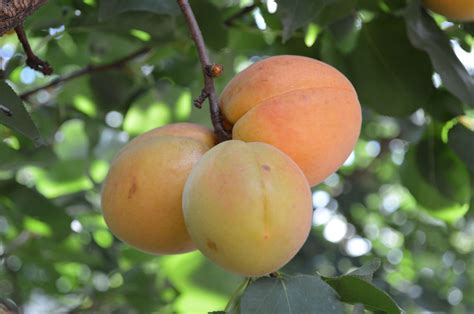 apricot fruit trees no apricots on the tree reasons for an apricot tree not