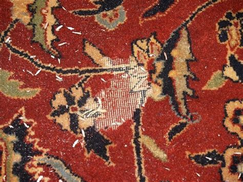 wool moths in rugs moth larvae can cause considerable amount of damage to a wool rug they feed on the keratin in