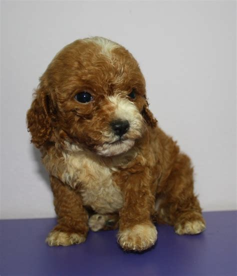 parti colored parti colored poodle puppy dogs are the best