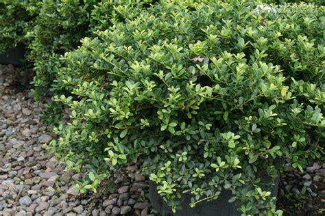 related keywords suggestions for japanese evergreen shrubs