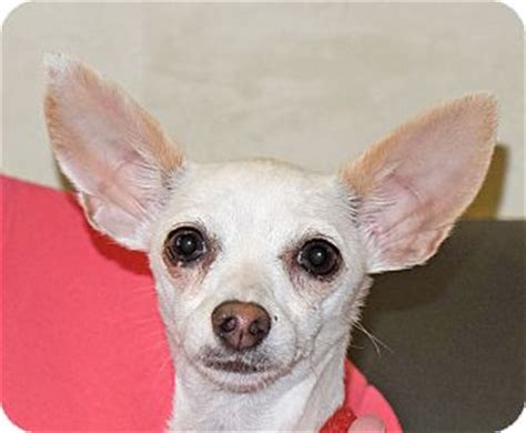 spokane puppies for adoption spokane wa chihuahua mix meet prissy a for adoption