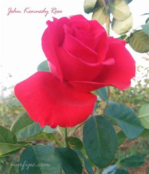 imagenes de rosas diferentes colores rosas y rosales tipos especies y variedades