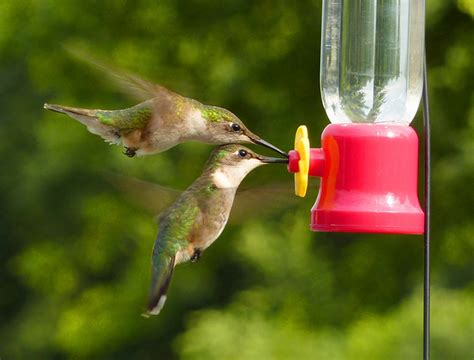 general hummingbird feeding rules 187 bird watcher s digest