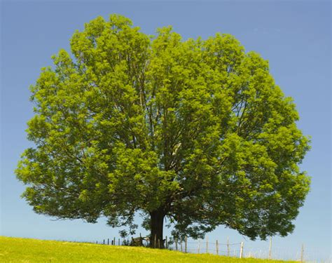 trees denver ash tree care arborscape tree service denver