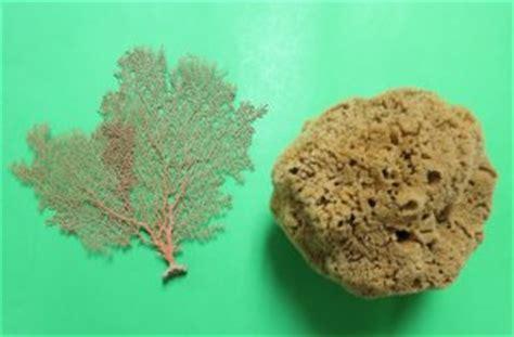 dried sea fans for sale wholesale sea sponges for sale