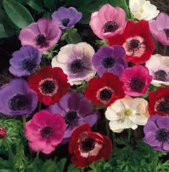 flowers for flower anemone flowers wallpapers