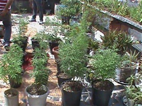g1 idosa 233 presa por cultivar maconha em casa e diz 224