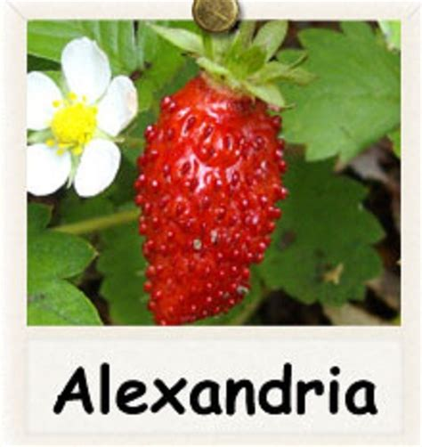 Jual Bibit Pohon Strawberry bibit benih strawberry alexandria jual tanaman hias