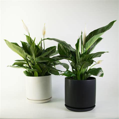 peace lily   black  white pot air purifier