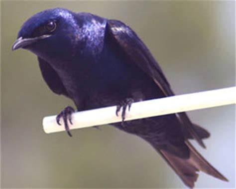 purple martin in dutch whatiscalled com