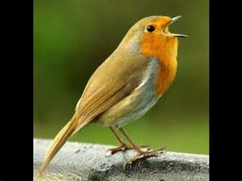 cool birds chirping loud and amazing song youtube